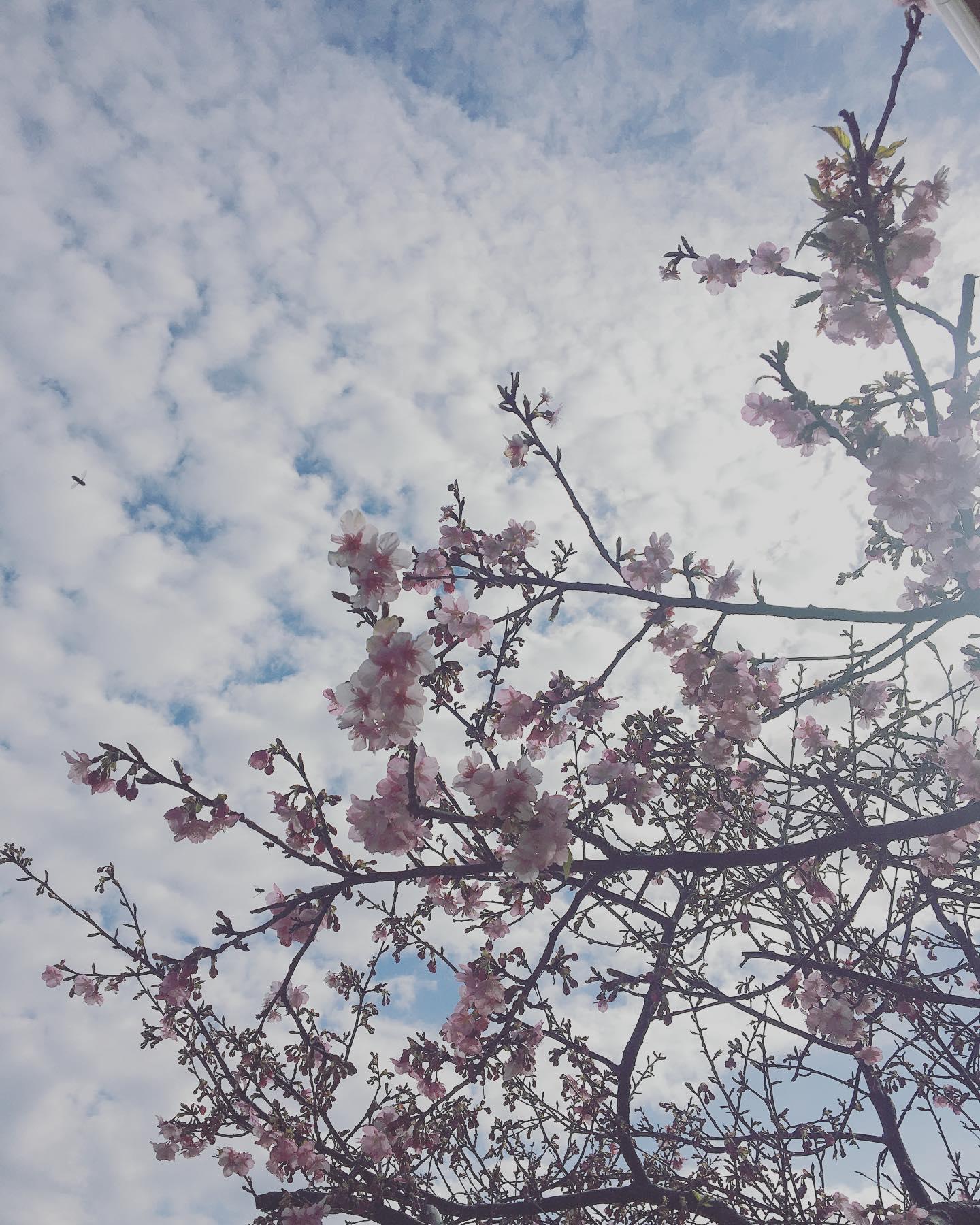 ぽっかぽかの日曜日。浜岡砂丘の河津さくらも日に日に咲き始めました。今日はみそつくりws手がつるつるになって最高です。美味しい味噌になりますょ〜に♪#浜岡砂丘さくらまつり #浜岡砂丘